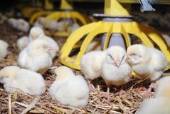 Geflügel, das Bauernhof aufzieht stockfotografie