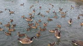 Geflügel geschart auf Teich Stockfotos