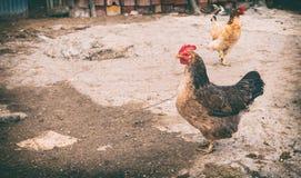 Geflügel im Bauernhofyard lizenzfreie stockfotografie