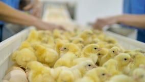 Geflügelarbeitskraft, die Babyhühner an Geflügel convetor sortiert Landwirtschaftsindustrie stock video footage