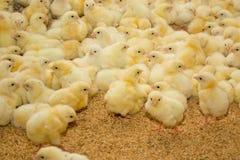 Geflügelfarm Stockfoto