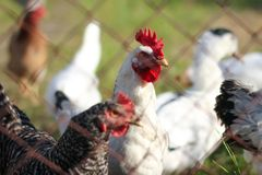 Geflügelfarm, Vögel, Hühner, Hahn, Huhn, Ente lizenzfreies stockfoto