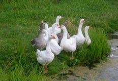 Geflügelgänse durch den Teich Stockfotografie