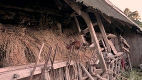 Geflügelhintergrund Landwirtschaftliche Szene Henne, die nach Nahrungsmittelhintergrund sucht Henne im Stroh Kleinbetrieb, Landwi stock video footage