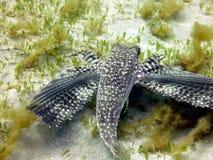 Geflügelte Fische lizenzfreie stockfotografie