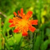 Geflügeltes Insekt auf jungem orange Löwenzahn Stockfotos