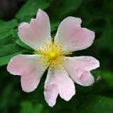 Geformte rosa Blume des Herzens Stockfoto
