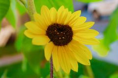 Geformte Sonnenblume des Herzens stockfoto