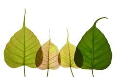 Geformtes neues Blatt des Herzens des peepal Baums Stockbilder