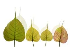 Geformtes neues Blatt des Herzens des peepal Baums Stockfotos