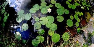 Gefotografeerde bladeren en witte bloemen van waterlelie Stock Afbeelding