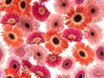 Gefotografeerde roze/purpere/oranje Gerber-Madeliefjes op een witte achtergrond Naadloos beeld eindeloos te herhalen royalty-vrije stock foto