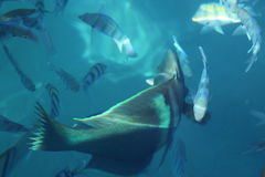 Gefräßig vom Roten Meer Lizenzfreies Stockbild