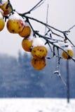 Gefrorene Äpfel auf einem Baum lizenzfreies stockbild