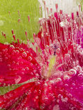 Gefrorene Abstraktion mit roten Pelargonien Lizenzfreie Stockbilder
