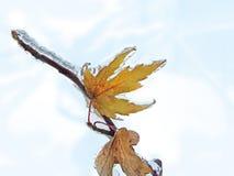 Gefrorene Ahornbaumniederlassung im Winter Lizenzfreies Stockbild