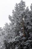 Gefrorene Bäume der Kiefer Lizenzfreie Stockbilder