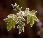 Gefrorene Blätter Stockbilder