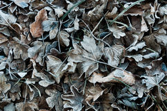Gefrorene Blätter Lizenzfreies Stockfoto