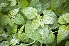 Gefrorene Blätter/Grün/Naturhintergrund lizenzfreies stockbild