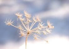 Gefrorene Blume in der Winterkälte Stockbild