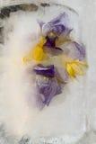 Gefrorene Blume von Iris Stockbild