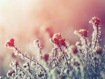 Gefrorene Blumen bei Sonnenuntergang Stockbild