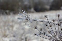 Gefrorene Blumen in der Winternahaufnahme Lizenzfreie Stockfotos