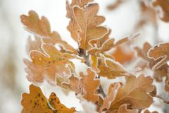 Gefrorene Eichenblätter auf einem Wintermorgen Lizenzfreie Stockfotos