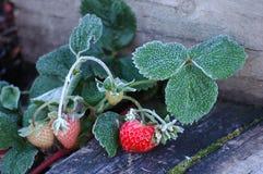Gefrorene Erdbeeren Stockfotos