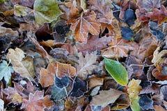 Gefrorene gefallene Blätter im Park stockbild