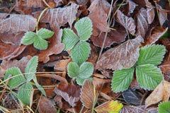 Gefrorene grüne Erdbeereblätter und verwelktes Gras Stockfotografie