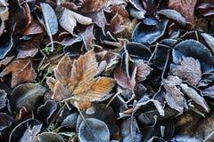 Gefrorene Herbstblätter Stockfoto