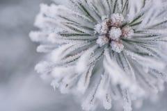 Gefrorene Koniferenniederlassungen im weißen Winter Winterhintergrund mit Koniferennadeln Stockfoto