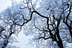 Gefrorene Kronen von den Bäumen bedeckt mit Schnee lizenzfreie stockfotos