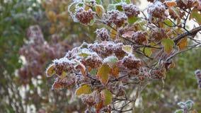 Gefrorene Niederlassung des Physocarpus-opulifolius, Oktober-Frost stock video footage
