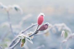 Gefrorene rosafarbene Hüfte Stockfotos