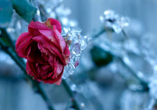 Gefrorene Rose lizenzfreies stockfoto