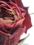 Gefrorene Rose Stockbild