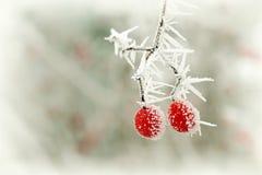 Gefrorene rote Beere im Winter Stockfotografie