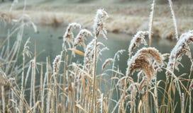 Gefrorene Schilfe im Wasser im Winterwind Stockfotos