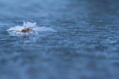 Gefrorene Spinne auf Eis im Winter Stockfotografie