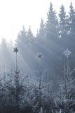 Gefrorene Sternspitzen auf Tannen Stockfotos