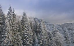 Gefrorene Tannenbäume in den Bergen Stockfoto