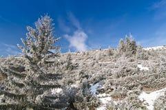Gefrorene Tannenbäume in den Bergen Stockbild
