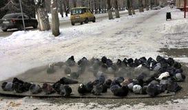 Gefrorene Tauben fluffed herauf Federn Aalen Sie sich im Wärmeschild Dampf kommt Frost minus 25 Grad Celsius Stockfotos