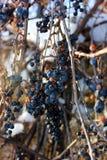 Gefrorene Trauben an einem sonnigen Tag Stockbilder