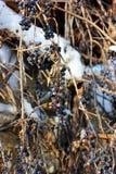 Gefrorene Trauben an einem sonnigen Tag Lizenzfreie Stockfotografie