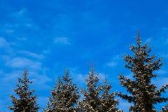 Gefrorene und schneebedeckte Koniferenbäume, Fichten, gegen blauen Himmel mit weißen Wolken lizenzfreie stockfotos