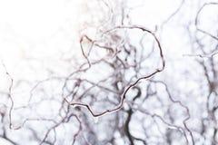 Gefrorene Weidenbaumaste während des Winters mit der starken Schicht Eis Niederlassungen umfassend stockbilder